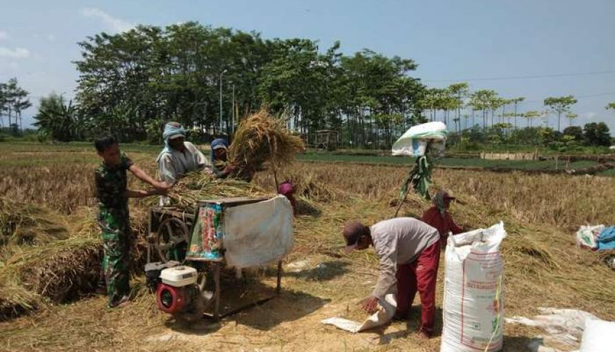 Kesigapan Sertu Taufik Babinsa Koramil 0820/Gending dalam Pendampingan Pertanian