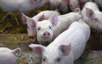 Menyorot Harga Daging Babi Dan Kandang Peternakan Babi Di Lumajang