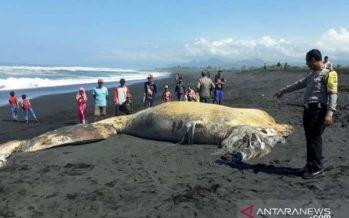 Seekor Ikan Paus Membusuk Ditemukan Warga Di Pantai Bambang